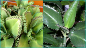 Алоэ при насморке: особенности растения и основные способы лечения