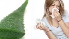 Лечение насморка алоэ: способы и правила